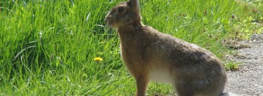 Werkgever aansprakelijk voor val over konijn